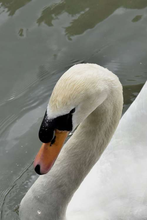 Swan Bird Animals Nature