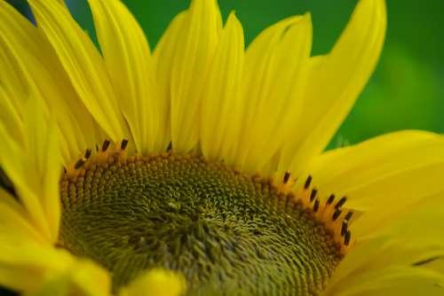 Sunflower Yellow Flower Bloom Flora Beautiful