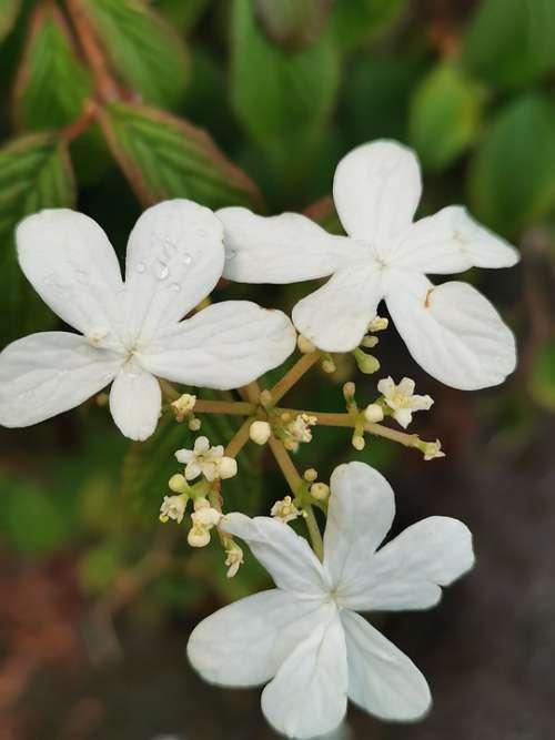 Flower White Plant