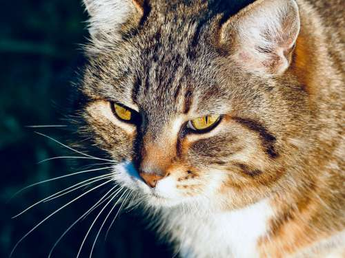 Cat Kitten Domestic Cat Pets Animal Eyes Whiskers