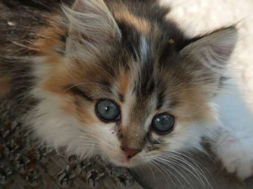 Kitten Tricolor Kitten Kitty Tricolor Pet