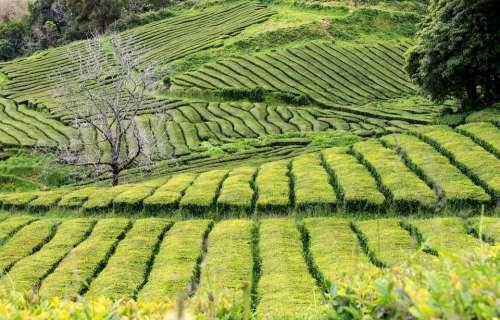 Teaföld Green Plantation Tea Landscape