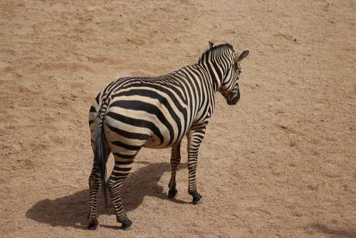 Zebra Stripes Africa Mammal