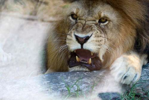 Lion Head Mane Anger Male Face Carnivores