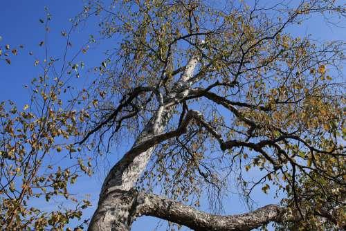 Tree Leaves Autumn Fall