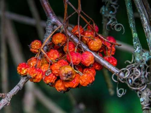 Rowanberries Autumn Nature Fruits Sorbus Aucuparia