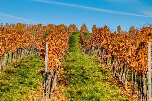 Vineyard Autumn Wine Nature Grapes Vines