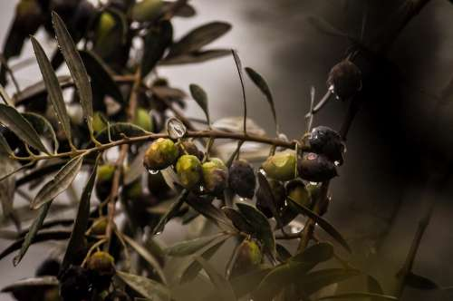 Olives Rain Rain Drops Plant Green Italy Nature
