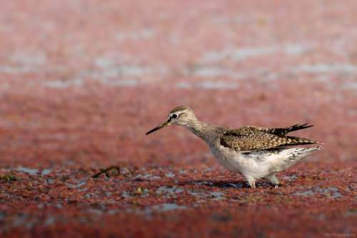 Birds Wildlife Sandpiper Animal Nature Fauna