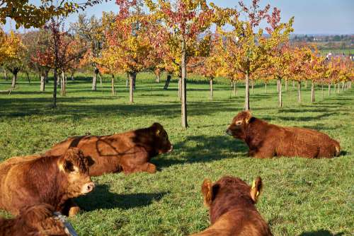 Cattle Cow Agriculture Animal Pasture Nature