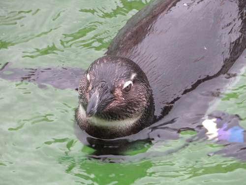 Penguin Swimming Water Bird Nature Animal Zoo