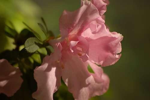 Flower Pink Azalea Green Leaves Macro Light