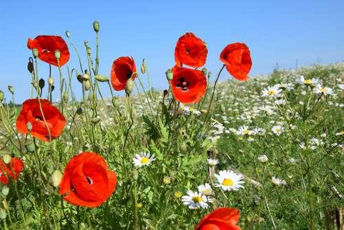 Poppies Summer Edge Of Field Klatschmohn Blossom