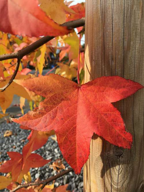 Autumn Fall Foliage Red Green Maple Wine Leaf