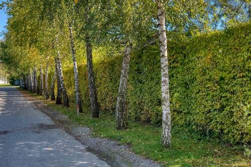 Road Away Wayside Birch Trees Hedge Green Autumn