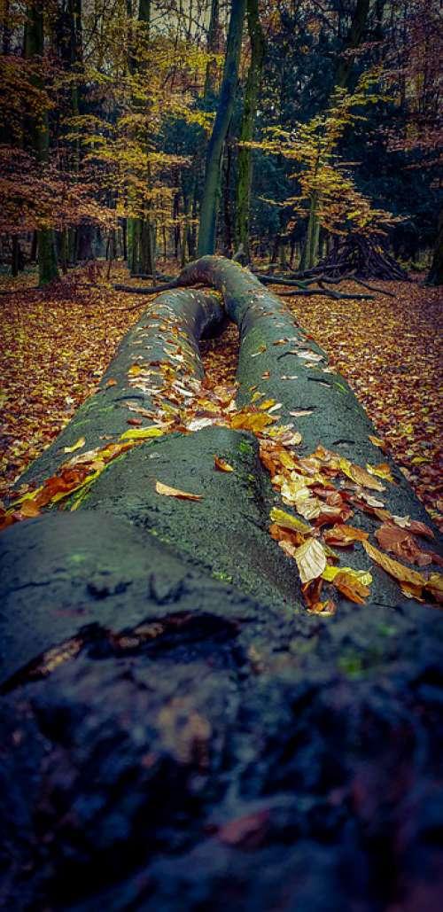 Forest Tree Autumn Leaves Fall Foliage Nature