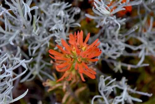 Wildflower Indian Paintbrush Bloom Botany Oregon