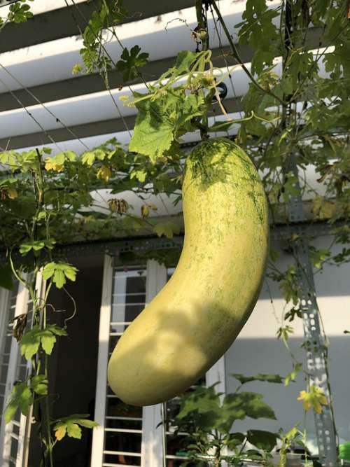 Cucumber Fruit Vegetables Food Nutrition Salad