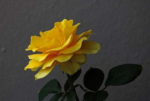 Single Yellow Rose & Green Leaves