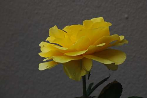 Open Yellow Rose On A Shrub