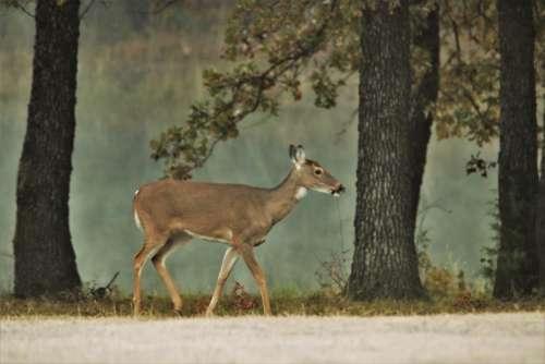 White-tail Doe At Foggy Pond 2