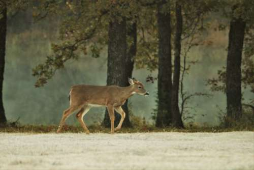White-tail Fawn At Foggy Pond 2