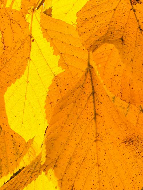 Yellow Leaves Background