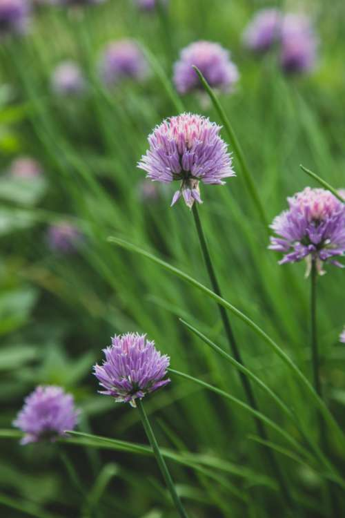 chives blossom garden nature wild