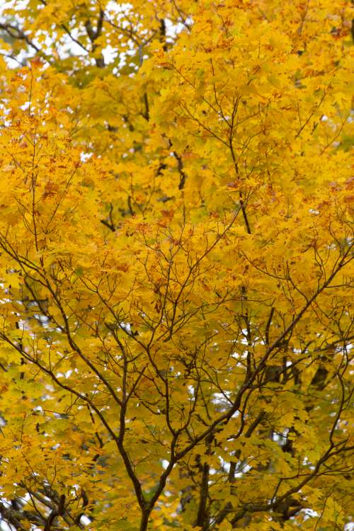 autumn tree background fall leaves
