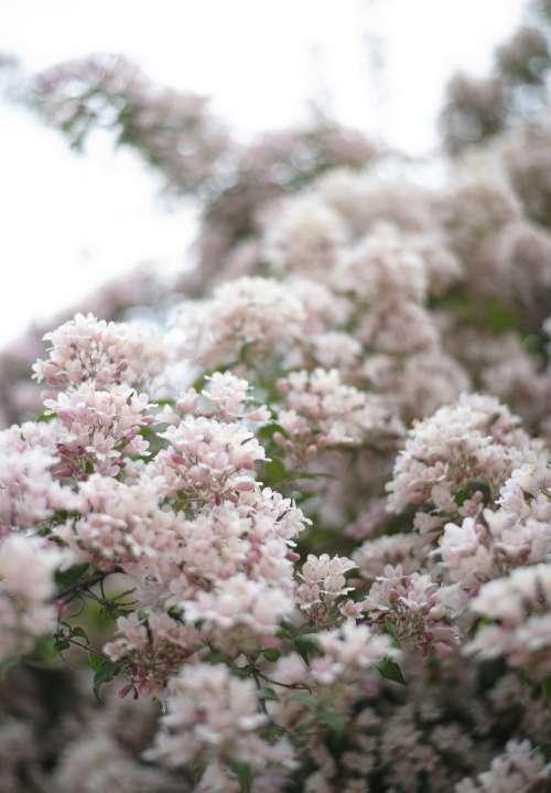 Snow-like Flowers Photo
