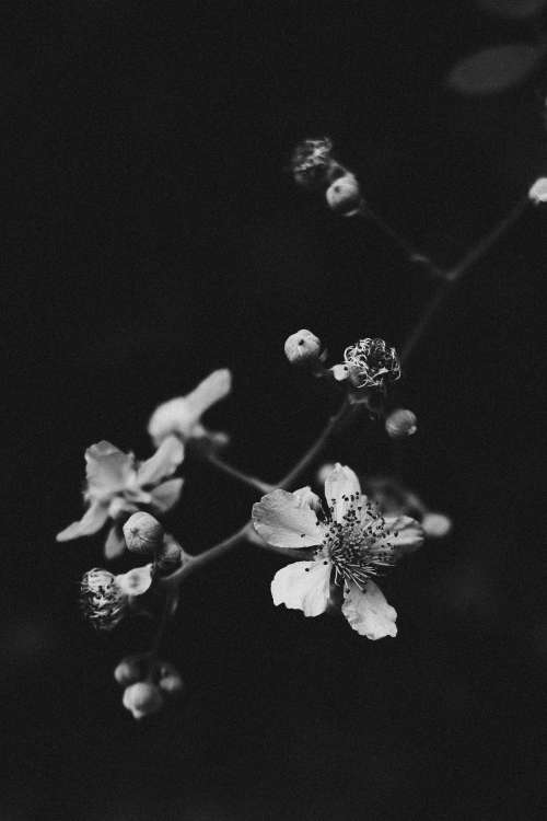 Monochrome Blossoms Photo