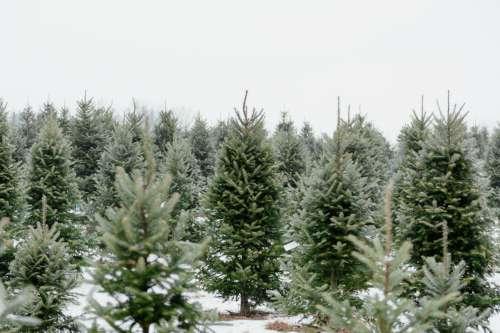 Christmas Pine Tree Farm Photo