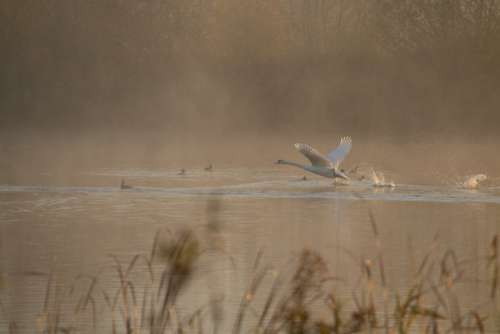 Swan Taking Off Mist Sunrise Riverbank River Grass