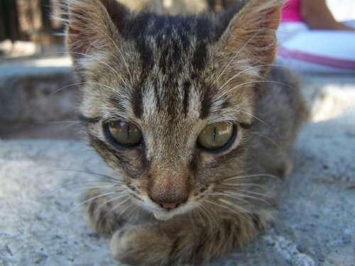 Cat Pet Kitten Animal Domestic Cat Cute Eyes