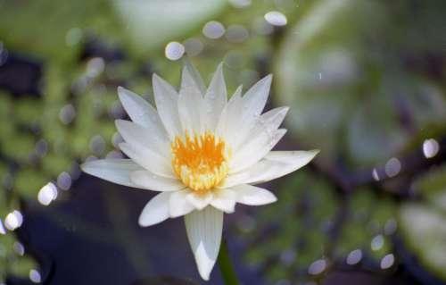 Flower Water Nymphaea Flora Pond Blossom Garden