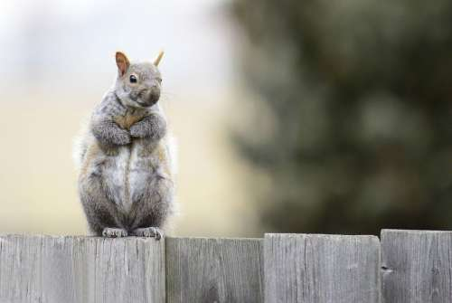 Gray Squirrel Animals Rodent Nature Wild Furry