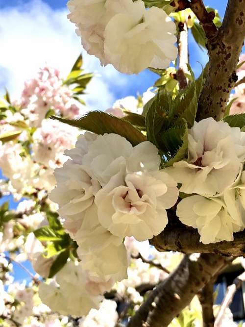 Spring Flower Cherry Blossoms White Natural