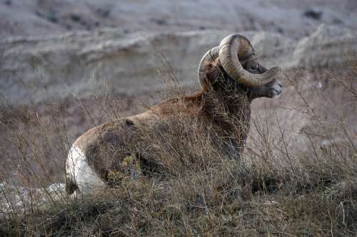 Badlands South Dakota Ram Bighorn Sheep