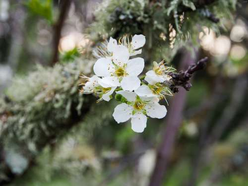 Cherry Blossom Spring Blossom Tree Bloom Nature