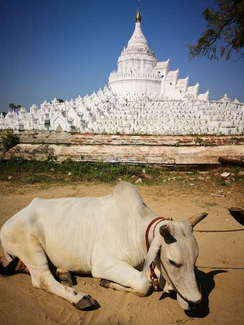 Myanmar Zebu Animal Pagoda