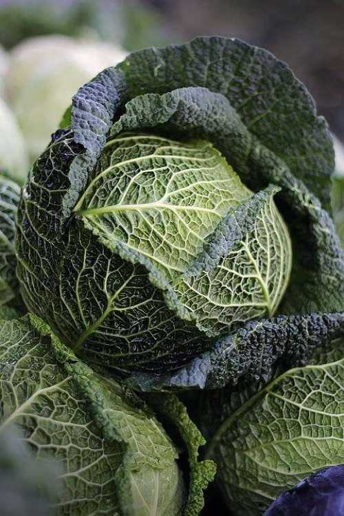 Savoy Savoy Cabbage Welsch Carbonate Welsch Herb