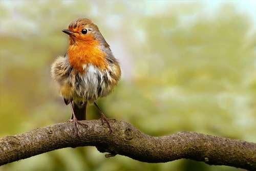 Animal Bird Songbird Robin Erithacus Rubecula