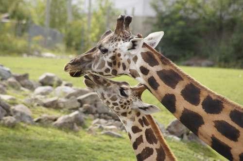 Giraffe Mother Baby Animals Love Nature