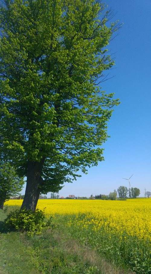 Tree Rapeseed Spring Field Landscape Poland