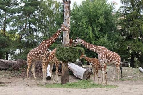 Giraffe Zoo Wrocław Tall Roślinożerna Dim Africa