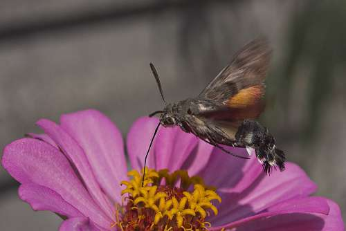 Zinnia Bee Sphinx Flower Garden