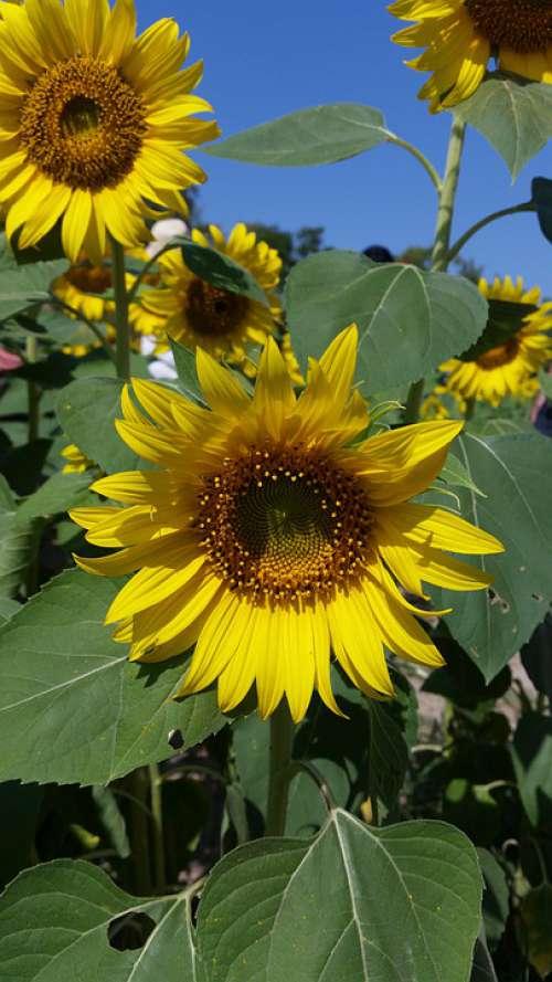 Flower Flowers Yellow Flowers Sunflower