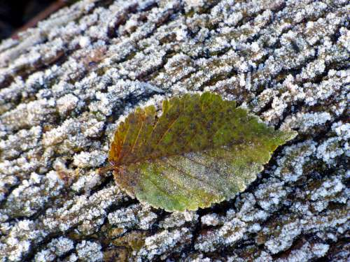 Leaf Frost Trunk Cold Nature Autumn Colorful