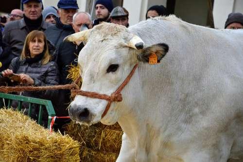 Ox Fair Breeders Campaign Moncalvo Fat Unesco