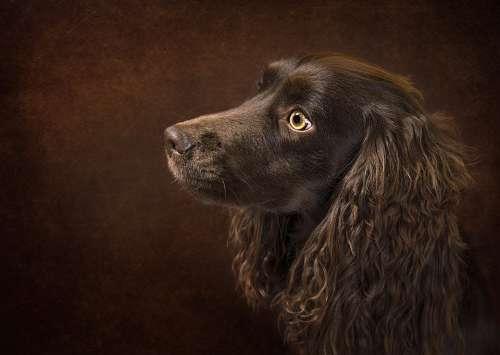 Dog Portrait Animal Pet Puppy Brown Canine Cute